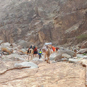 garbage loaded on the camels dalel foundation clean up
