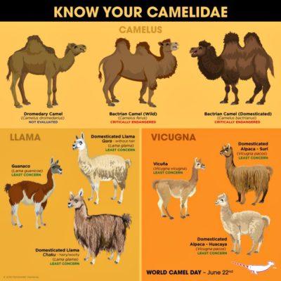 familie van de kameelachtigen
