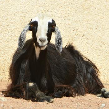 goatwool for camel halters - dalel foundation