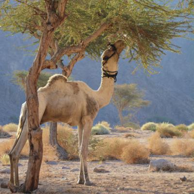 snoeiers van de woestijn