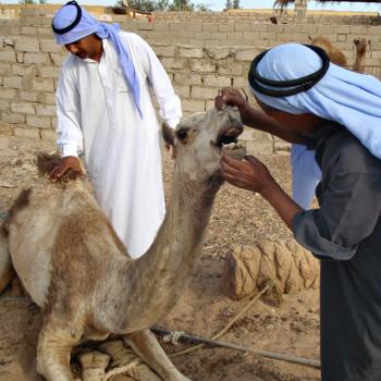 kamelenzorg bedoeïenen st dalel