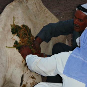 bedu -kamelenzorg - kruiden