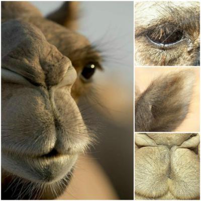 ogen - oren - neus fysiologie van de kameel - st dalel