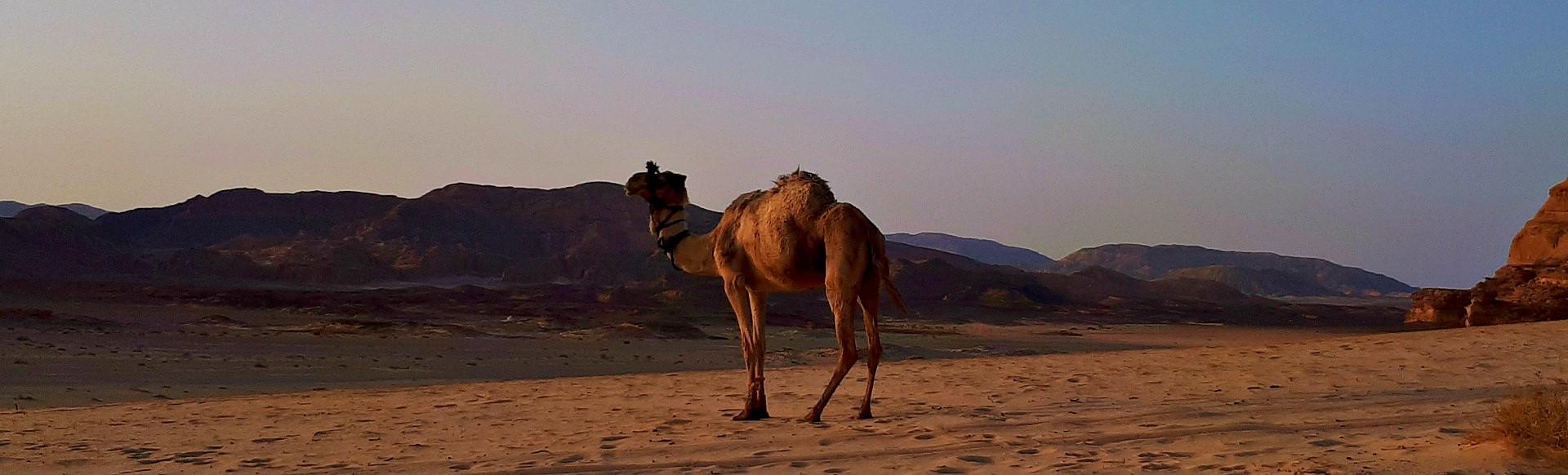 de kameel st dalel